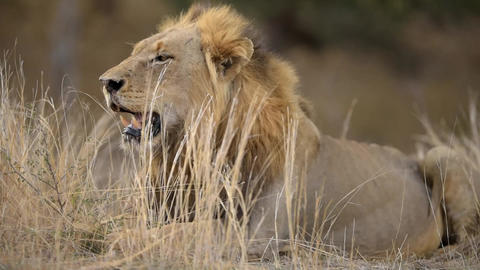 Male lion lying down in the bush Live Action
