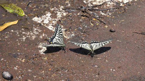 Courtship behavior of Swallowtail butterflies Live Action