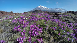 Meadow flowers growing on volcanic slag on background of volcanoes Footage