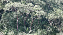 Jungle trees in Mexico P HD 4629 Footage