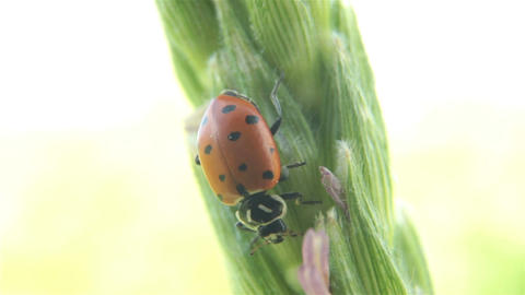 Lady bug eating corn stalk farm P HD 2584 Footage