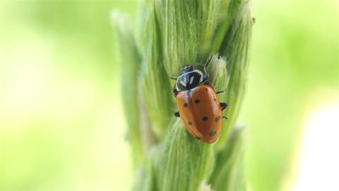 Lady bug on farm corn stalk P HD 2575 Footage