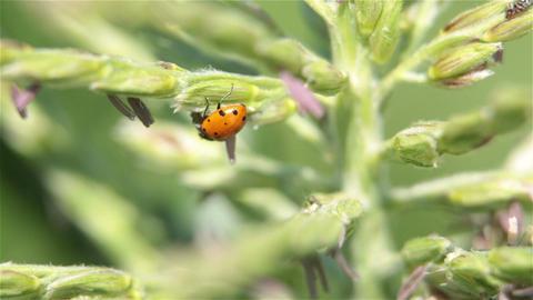 Lady bug on corn tassel on farm P HD 2513 Footage