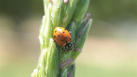 Lady bug on farm corn tassel P HD 2558 Footage