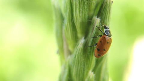 Lady bug walking eating corn stalk P HD 2579 Footage