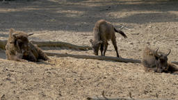 Three European bisons. Bison bonasus Live Action