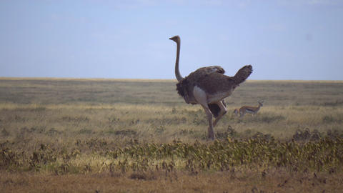 Common Ostrich Bird Walking in Meadow of African Savanna Live Action