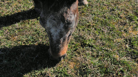 Mischievous spotted pony grazes. The farmer checks on his ass the molting of winter fur and the Live Action