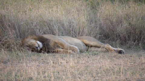 Lion Sleeping in Savanna of National Park in Tanzania Africa Live Action