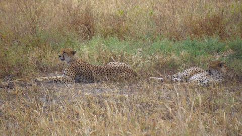 Cheetah aka Gepard Couple Laying on Grass in African Savanna, Tanzania Live Action