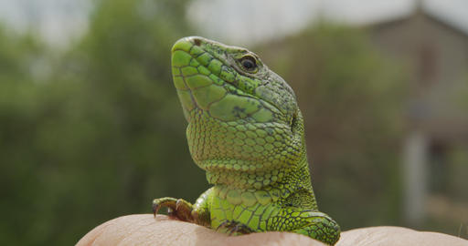 Wildlife Nature Lizard Close Up. Reptile. Reptile Eye. Lizard, gecko baby lizard Live Action