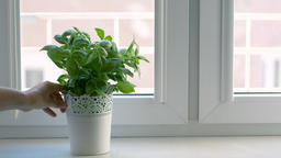 Hand is placing fresh basil in a flowerpot on a kitchen sill Live Action