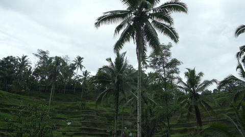 Rice terraces on Bali under the rain. Slow motion Live Action