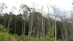 Dead trees in a forest. Forest destroyed by cormorants excrements Live Action