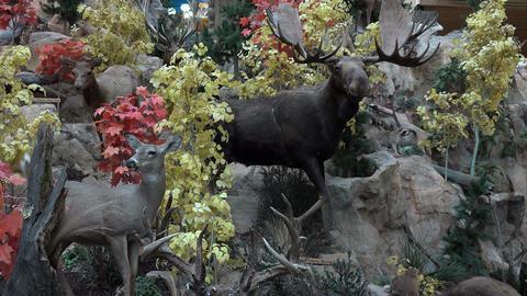 Moose deer wildlife taxidermy study 4K Footage