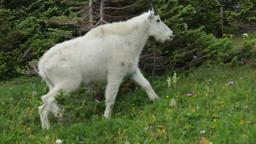 Mountain Goat climbing mountain trail Footage