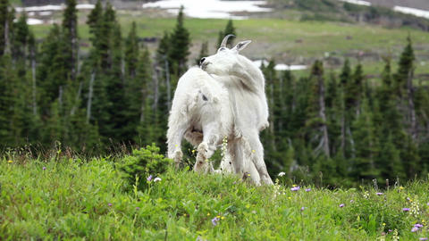 Mountain Goat on hill scratching P HD 0578 Footage
