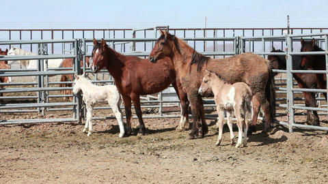 Mustang horses mother colts in corral P HD 8895 Footage