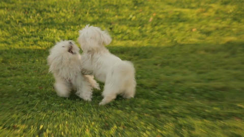 Two happy dogs playing in the park, west highland white terriers enjoying walk Footage
