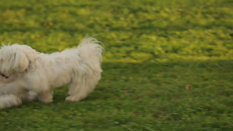 Two beautiful white dogs playing on the grass, fluffy pets enjoying the outdoors Footage