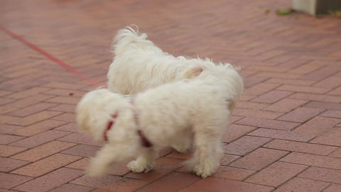 Two dogs on a leash getting acquainted, people enjoying walk with their pets Footage