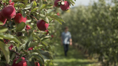 Man Walks in Apple Orchard. Fresh, Grown-Up Apples on a Tree in the Foreground Live Action