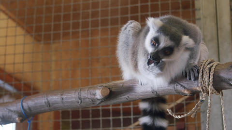 Lemur Chewing On Fruit sitting on a tree Live Action