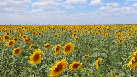 Sunflower Field 0