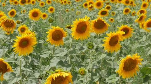 Sunflower Field 2