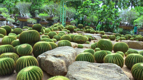 Big round green cactuses grow on big rocks. In the background, the trees and the gardener Live Action