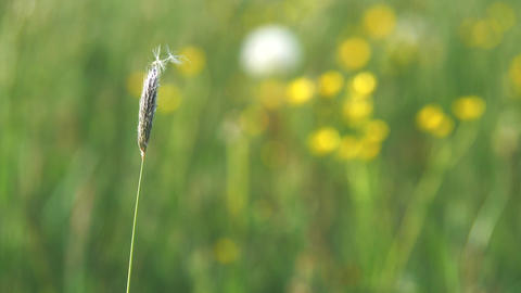 Single grass stalk in blossom. The spike of meadow grass growing out alone at night. Harmony, seed Live Action