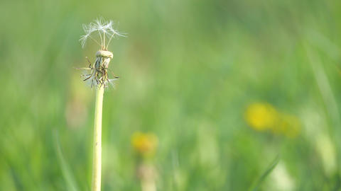 Stalk of dandelion with rest of white head in meadow among green grass swaying on wind. Grass in Live Action