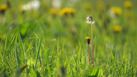 Spring meadow with yellow dandelion flower surrounded by green grass in spring Live Action