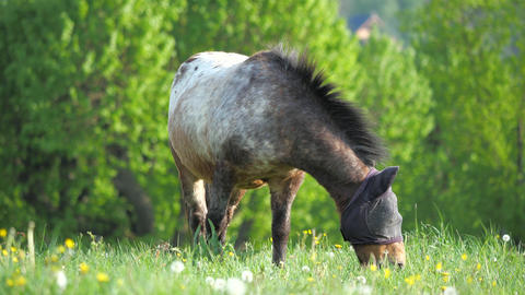 Gray spotted pony grazes in a fly mask. Fly protection mask for horses optimally protects the horse Live Action