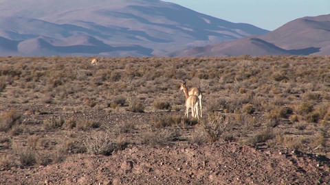 Impalas eat and roam Stock Video Footage