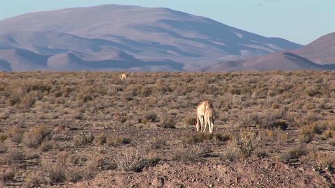 Impalas eat and roam Stock Video Footage
