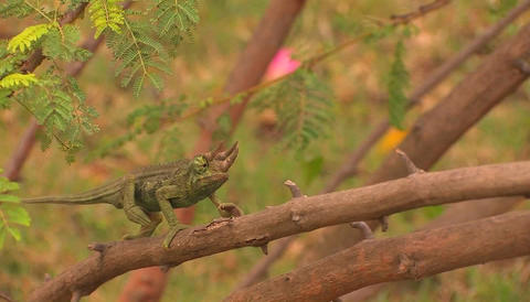 A three-horned chameleon slowly travels across a branch Stock Video Footage