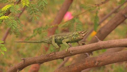 A three-horned chameleon slowly travels across a branch Live Action