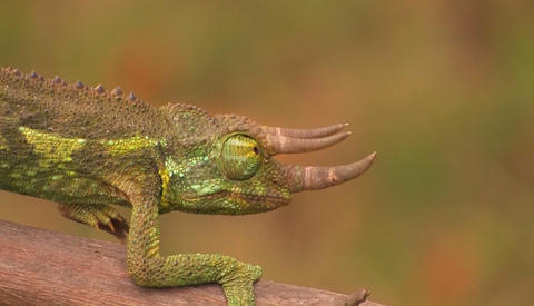 A horned chameleon walks through the branches Stock Video Footage