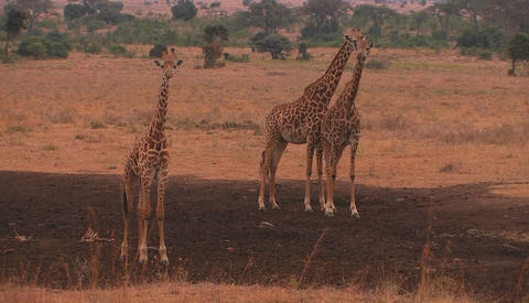 Three giraffes stand on the plain, chewing and looking around Footage