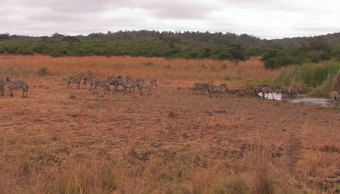 A herd of zebras are walking on the plain and drinking at a waterhole Footage