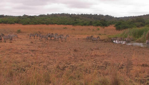 A herd of zebras are walking on the plain and drinking at... Stock Video Footage