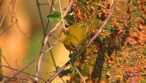 A yellow bird is perched on a thin branch pecking at leaves Stock Video Footage