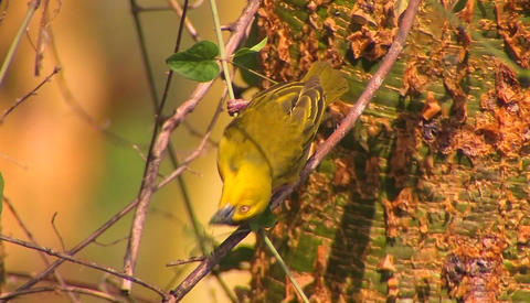 A yellow bird is perched on a thin branch pecking at leaves Footage