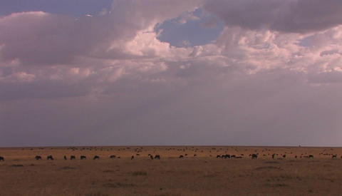 A herd of animals occupy a vast grassy plain Stock Video Footage