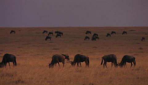 A herd of animals graze in a field Stock Video Footage