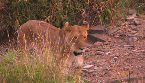 A female lion panting and looking around near tall grass Stock Video Footage