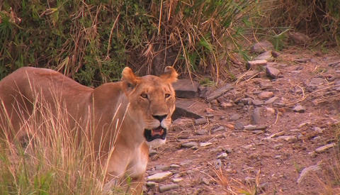 A female lion panting and looking around near tall grass Footage