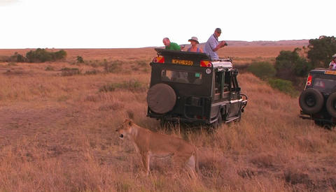 People watch as a lion walks behind their vehicle on safari Stock Video Footage