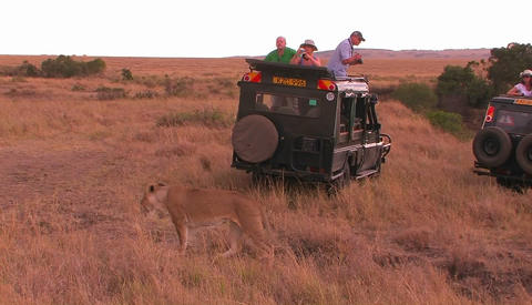 People watch as a lion walks behind their vehicle on safari Footage